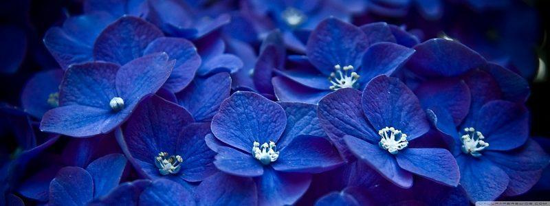 Blue Hortensia 1920×1080