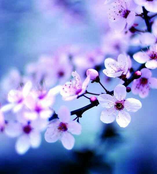 Fleurs De Cerisier Sur Fond Bleu
