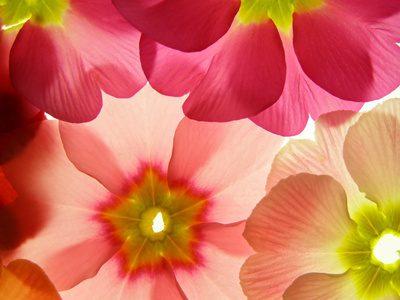 Spring Primula